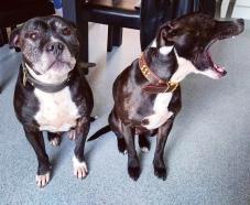 Dex & BooBoo staffy staff dogs pitbulls pets animals dog dogs photography photo
